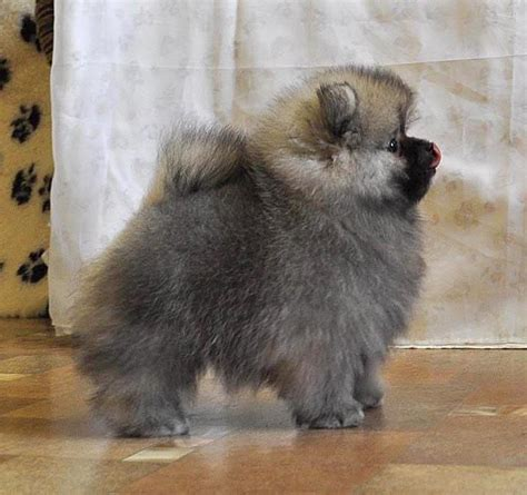 keeshond puppies keeshond pup pups puppys i want and pomeranians