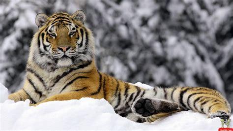 wallpaper cartoon tiger siberian tiger wallpapers wallpaper cave