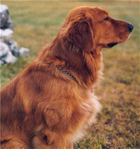 golden retriever mahogany golden retriever puppies breeders retrievers