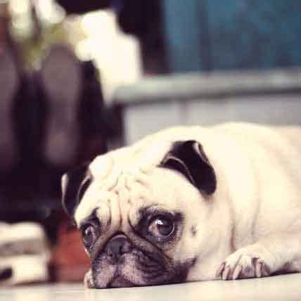 pug encephalitis causes and symptoms of pug encephalitis petcarerx