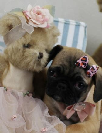 best toys for pug puppies pug puppies wow