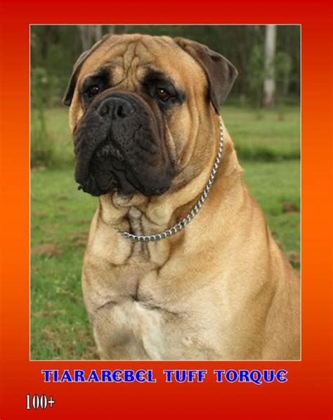 mastiff breeds queensland all mastiff breeds club