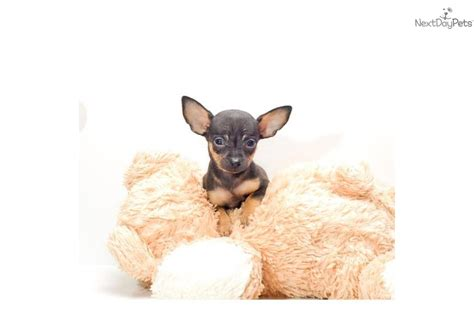 free teacup chihuahua puppies free teacup chihuahua puppy book covers