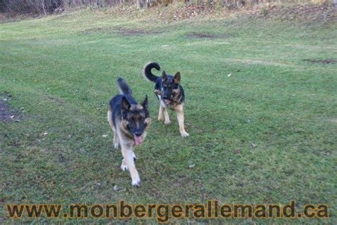 lade le berger photos g 233 n 233 rale sur nos berger allemand