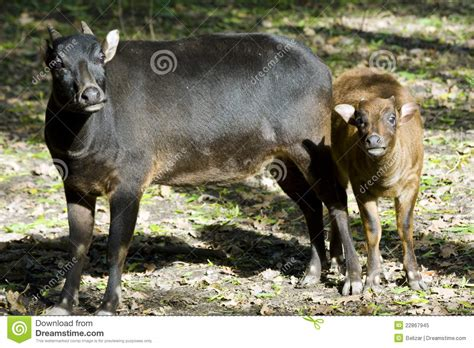 lowland anoa bubalus depressicornis royalty  stock photo image