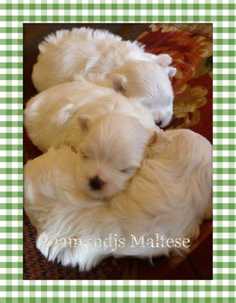 free puppies for adoption 1000 ideas about free puppies for adoption on pinterest