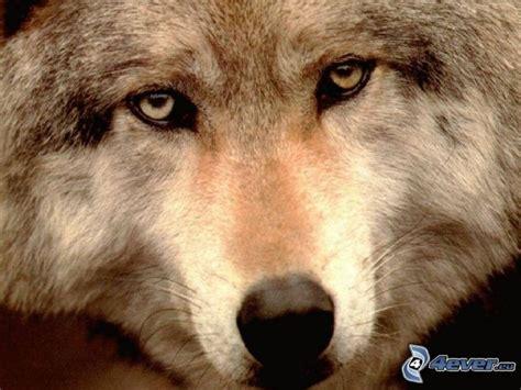 testa di lupo testa di lupo