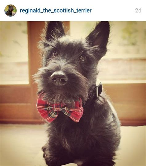 how to give a scottish terrier a hair cut 64 best my boy dolce see you in heaven images on