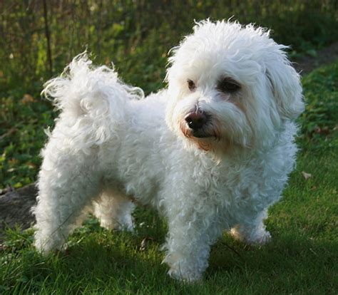 maltese bichon puppies for sale bichon maltese puppies for sale and links to the owners
