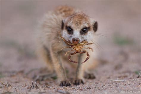 Playtime With Meerkat meerkats kalahari
