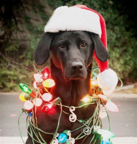 ready   holiday season  christmas dog