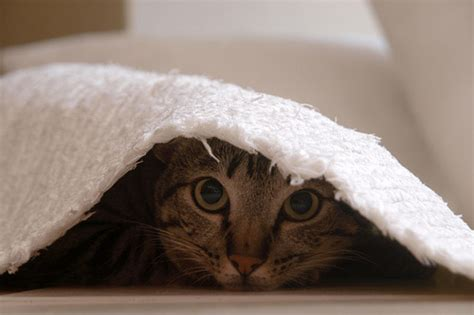 cat photography playing hide  seek amo images amo