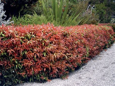 callistemon greatballs of fire 1mt x 1mt easy care plant for the garden a light trim and an