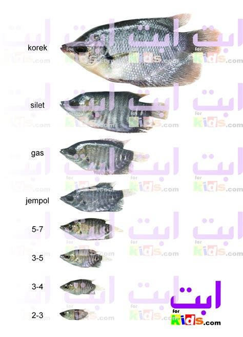 Jual Bibit Gurami Lumajang jual benih gurami di jambi jual bibit ikan air tawar