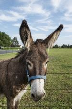 list  donkey breeds wikipedia