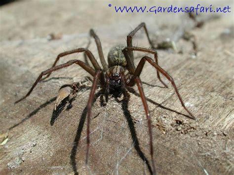 Garden Spider Big Gardensafari Common House Spider Tegenaria Atrica
