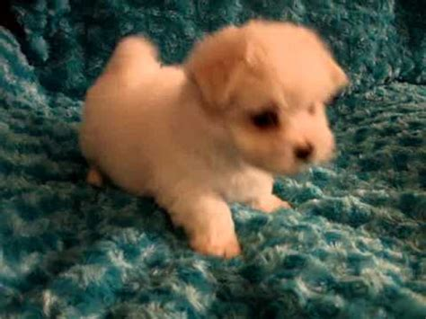 morkie puppies for sale in ny teacup maltese maltipoo morkie yorkie puppies for sale in los angeles ca new york