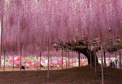 Japan Wisteria Tunnel by 15 Breathtaking Tree Tunnels Amp Canopies Garden Lovers Club