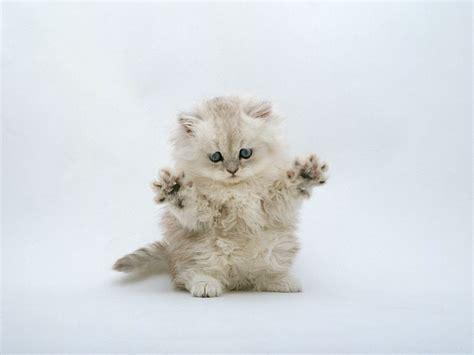 cat wallpaper for home cuddly kittens wallpaper fluffy persian kitten 1600