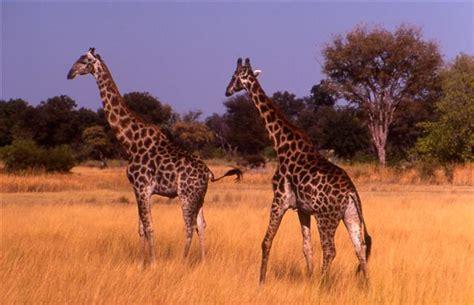 imágenes de jirafas y elefantes el semanal digital