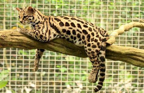 jaguars center jaguar rescue center diavolino the margay picture of