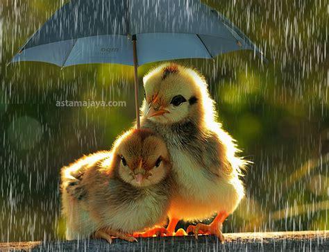 wallpaper anak ayam tips menjaga kesehatan ayam ketika musim hujan