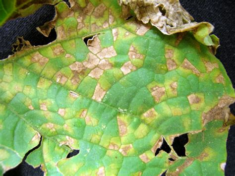 cucumber plant diseases pictures downy mildew on cucumber confirmed in michigan msu extension