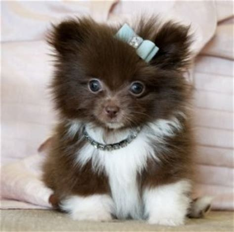 pomeranian puppies for sale in wv dogs west virginia free classified ads