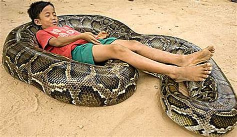sleep python reptiles animal pictures and facts factzoo