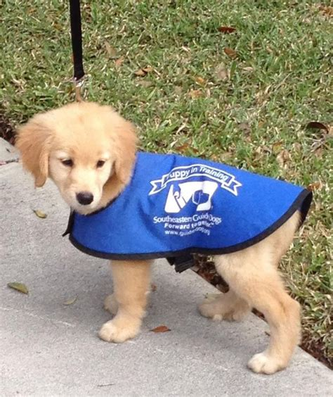 who trains service dogs 20 best guide dogs images on service dogs guide and