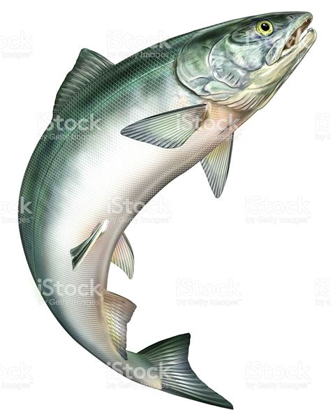 salmon jumping stock vector art amp more images of animal