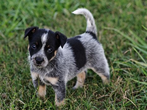 blue heeler dogs beautiful picture of a blue heeler puppy png