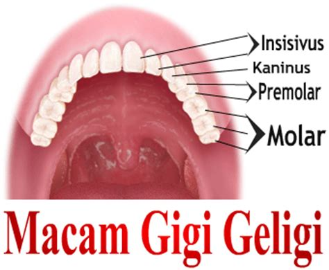 Tang Cabut Gigi Dewasa Premolar A 7 tang tang kulintang jenis gigi fungsi gigi dan jumlah gigi