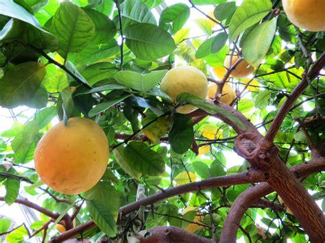 citrus fruit tree citrus fruit growing on tree like success