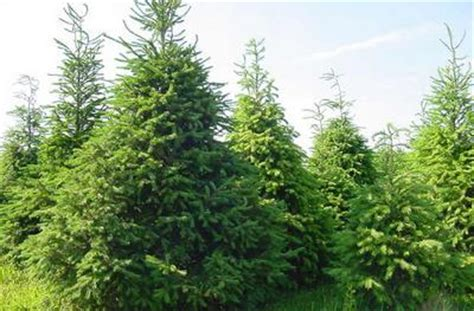 delaware christmas tree growers association evergreen farms