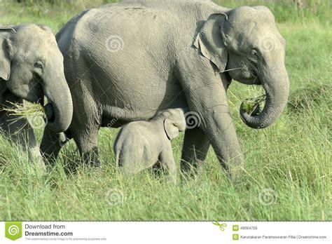 botanical name of elephant elephant suckling calf stock photo image 48064759