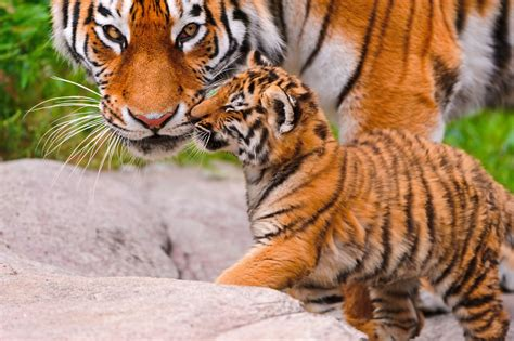 big cat animal tiger baby wallpaper 4043x2695 559664