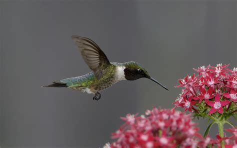 hummingbird wallpapers  background pictures