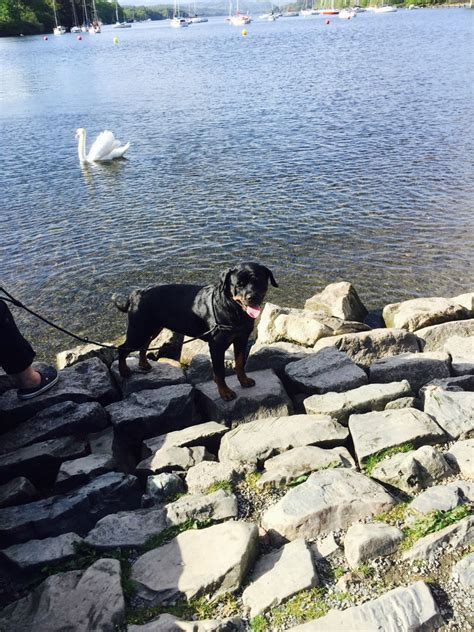rottweiler stud wanted rottweiler stud wanted fee by negotiation milnthorpe cumbria pets4homes