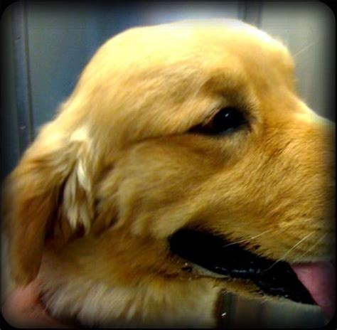 spots golden retrievers what is a quot spot quot dr truli springer holistic veterinary house call services