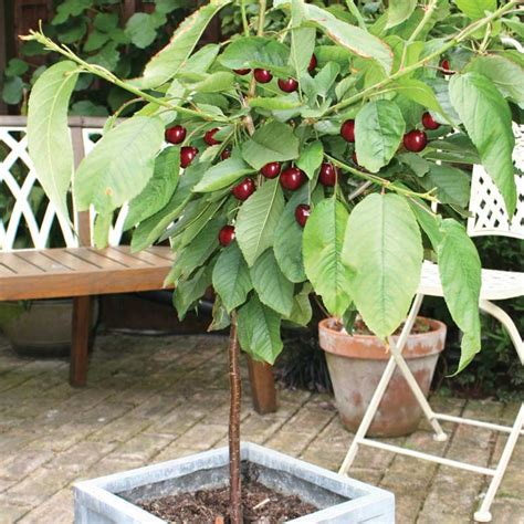 cherry tree and associates thompson cherry 1 patio tree on sale fast delivery greenfingers