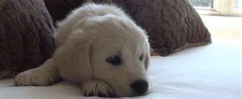 animated golden retriever golden retriever animated gif