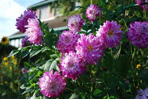 perenni da fiore dalia fiore perenni pianta dalia