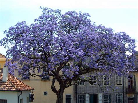 Chinesischer Blauglockenbaum Kaufen by 1000 Samen Paulownia Tomentosa Chinesischer