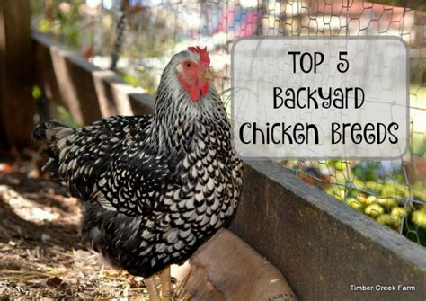 Best Backyard Chicken Breed Best Backyard Chickens Timber Creek Farm