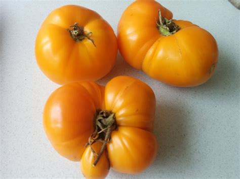 tomato terminology 1 heirlooms vs hybrids herbs and other plants for food medicine