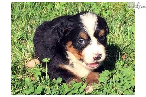 bernese mountain puppies missouri bernese mountain puppy for sale near joplin missouri 5d65cbce 4cc1