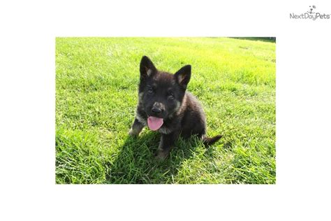 wolf german shepherd puppies german shepherd puppies for sale german shepherd wolf hybrid breeds picture
