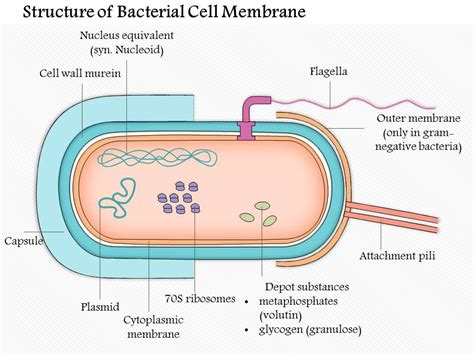 structure   bacterial cell membrane medical