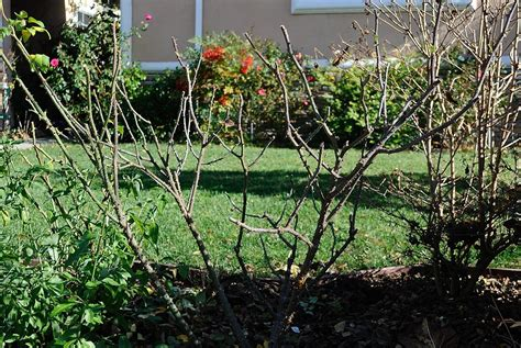 a rose is a rose pruning my david austin roses